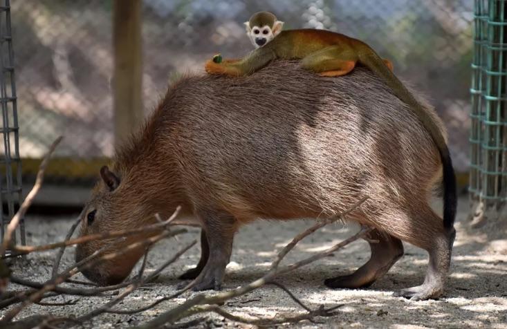 Capybara 2